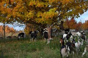 fall_goats_2