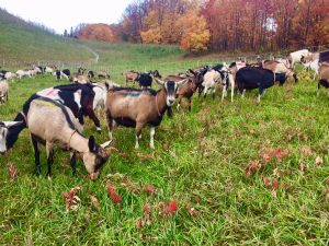 Goats In Fall Pastures